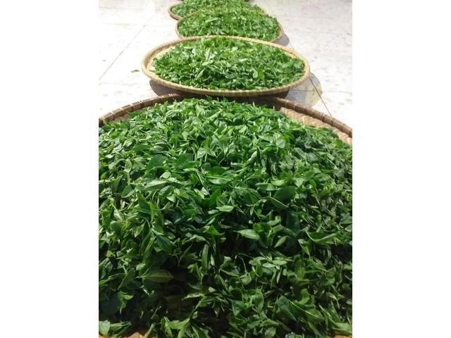 trà nõn tôm Thái Nguyên