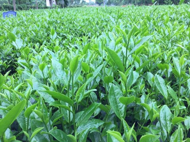 Đặc sản trà xanh Thái Nguyên