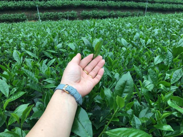 trà xanh Thái Nguyên sạch giúp ngăn ngừa ung thư