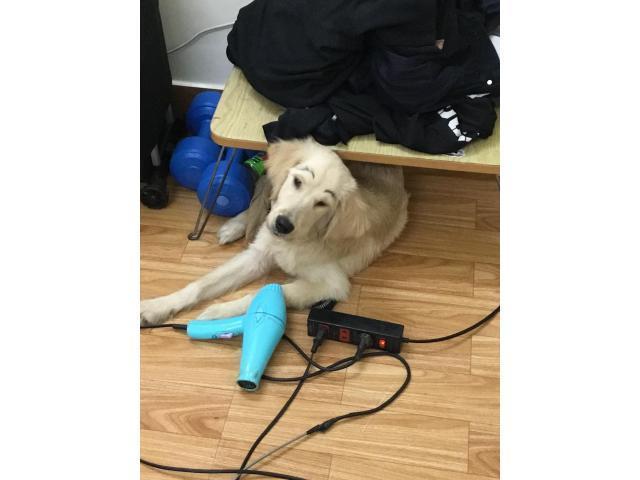 Cần tìm chủ mới cho bé labrador